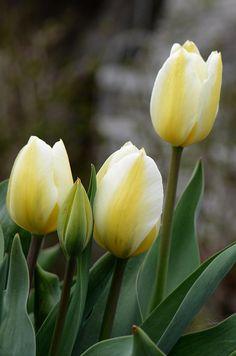 #tulips #yellow