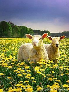 Easter lambs in yellow dandelions