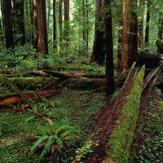 Redwood Trees, Ferns and Sorrell, Humboldt Redwoods State Park, USA