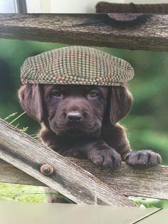 Labrador Chocolate, Chocolate Lab Puppies, Black Labrador Dog, Labrador Retriever Dog, Labrador Dogs, Cute Puppies, Cute Dogs, Brown Puppies, Cutest Puppy Ever