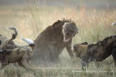 Wild Dogs vs Hyenas, Africa Geographic - photo by Christophe Courteau