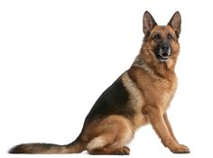 The Pet Net: German Shepherd Dog (Alsatian Wolf)