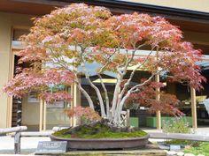 Japanese Maple named Musashigaoka, several of the trees at the Omiya Bonsai Art Museum have names.