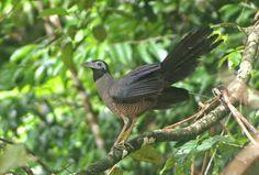 warawiri: Tokhtor Sumatera (Carpococcyx Viridis)
