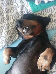 That's how we sleep nowadays #dachshund