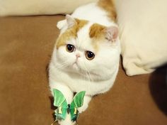 50 Cute Pictures of Snoopy the Cat - Cutest Paw Rare Cats, Exotic Cats, Cats And Kittens, Babe, Cutest Cats Ever, Animal Gato, Exotic Shorthair, Matou, Photo Chat