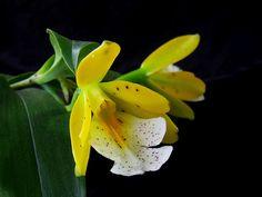 Epidendrum wallisii by Daniel-CR, via Flickr