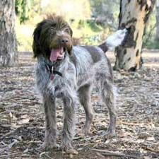 Wirehaired Pointing Griffon. They are members of the sporting group. They are great water retrievers and pointers. They stand at 20-24 inches at the shoulder and weigh about 50-60 pounds.