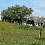 Wild Horses of Langeland