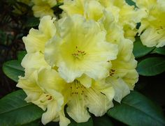 Rhododendron 'Hotei'.