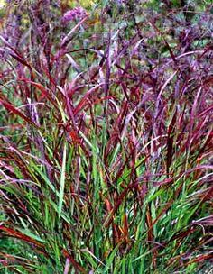 Panicum virgatum 'Rotstrahlbusch' - Red Switch Grass