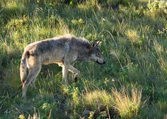 Help protect wolves in the wild! Grey Wolf: