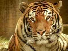 """""""Dhali"""" Tigre de bengala by Dave Rojas on 500px"""