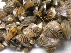Zebra Mussels, an invasive species of concern in the Great Lakes. US Department of Fish and Wildlife photo.