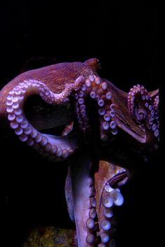 Octopus by Salvador Bosch