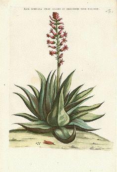 Antique Prints, Vintage Prints, Decoupage Plates, Agaves, Cactus Print, Plant Illustration, Botanical Prints, Vintage Images, Succulents