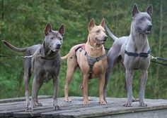 Blue Pits 10 Things You Didn't Know about the Thai Ridgeback > Puppy Toob - When it comes to unique dog breeds, the Thai Ridgeback will rank near the top of the list. There are several reasons for this, including their personality Unique Dog Breeds, Rare Dog Breeds, Coyotes, Big Dogs, Dogs And Puppies, Animals And Pets, Cute Animals, Thai Ridgeback, Rare Dogs