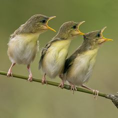 Trio...    Cici Red Bird / Golden-headed Cisticola / Fascistic Exilis    Location : Jakarta - Indonesia