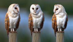 magicalnaturetour: Barn Owl Photo by Nigel Pye