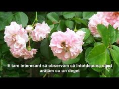 TOT  CEEA  CE  SPUNEM... Rose, Flowers, Plants, Pink, Plant, Roses, Royal Icing Flowers, Flower, Florals
