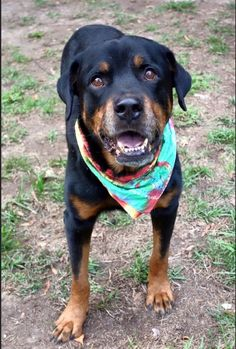 Meet Koda Courtesy Post, an adoptable Rottweiler looking for a forever home. If you're looking for a new pet to adopt or want information on how to get involved with adoptable pets, Petfinder.com is a great resource.