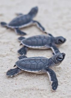 Baby sea turtles heading to sea.  Good luck little guys! ==