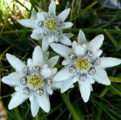"Edelweiss, Leontopodium alpinum. 'Edel' means Noble in German, and 'Weiss' means White. ""The symbolic meanings of the edelweiss flower are daring, courage and noble purity. These meanings are derived from the plant's ability to grow in harsh mountain climates and from its pure white coloring."" http://thoughtsfromanamericanwoman.wordpress.com/2012/08/26/the-edelweiss/"