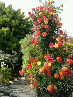 This modern climbing rose is an orange blend, 'Joseph's Coat,'  and is a large-flowered natural climber. These resilient flowers prefer full sun with open air circulation, regular moisture and pruning.