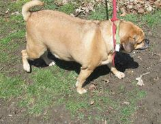 CUTE PUG MIX SPLENDA (very sweet) FOUND IN CANTON, OHIO...Release date 4/11 $ 86.00 fee includes OH license, DA2PP, Bordetella vaccine, Hw testing, Worming and spay/neuter.  Flea treatment will be provided if fleas are noticed.  All dogs will be spayed/neutered before leaving the pound unless other...