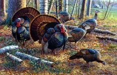 In Cynthie Fisher's print SPRING STRUT, the turkeys are performing their annual mating ritual, fluffing and fanning their tail feathers to attract a female. Definitely one of the best wildlife turkey