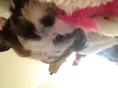 Shih tzu Allie having fun with her new toy