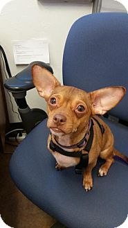 Libertyville, IL - Rat Terrier/Chihuahua Mix. Meet Rudy, a dog for adoption. http://www.adoptapet.com/pet/17663435-libertyville-illinois-rat-terrier-mix