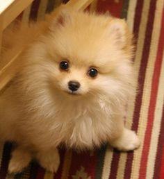 Sputnik the Pomeranian