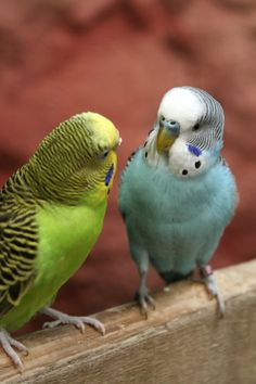 Parakeets:  I have had a couple of green ones and one blue parakeet as pets. They are so clever and so much fun.