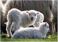 http://oddstuff.hubpages.com/hub/little-Lamb-heart-touching-Photography