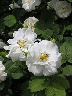 Rosa alba suaveolens (origins unknown, before 1750)