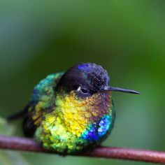 Fiery-throated Hummingbird by Chrissie64