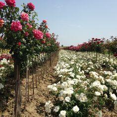 Les champs de roses