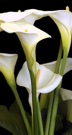 calla lily | Calla Lilies I Tall