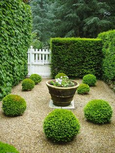 Buxus spheres planted into a graded pebble courtyard with subtle water feature and hedges. Traditional courtyard garden design with a contemporary twist. Pinned to Garden Design - Courtyards by Darin Bradbury. Boxwood Garden, Topiary Garden, Pea Gravel Garden, Boxwood Hedge, Cacti Garden, Back Gardens, Small Gardens, Small Garden Patios, White Gardens