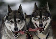 """Speculari. Quasi in tutto, se non fosse per gli occhi: nocciola l'uno, di ghiaccio l'altro. I due Husky """"gemelli diversi"""" partecipano al tradizionale rally per cani da slitta che si tiene ad Aviemore, in Scozia, organizzato dal Siberian Husky Club of Great Britain. L'immagine è di David Moir per la Reuters(reuters)"""