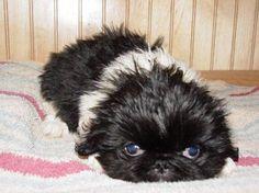 Pekingese puppies are too cute!