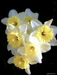 ✯ Daffodils