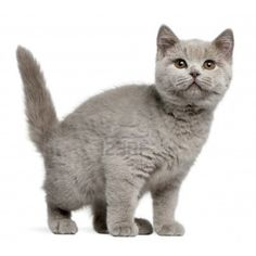 British Shorthair ❤ liked on Polyvore featuring animals, pets and cats
