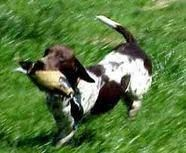 Image Result For German Shorthaired Pointer Dachshund Mix German