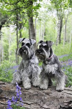 Omg these two little mini schnauzers are absolutely adorable❤️