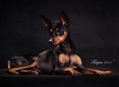 Killer - Miniature Pinscher - Dog Breeds