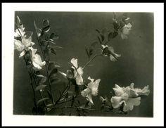 CAMELIA SASANQUA ( ternstroemiacee)-FIORI-VECCHIA FOTO D EPOCA/OLD PHOTO 1932