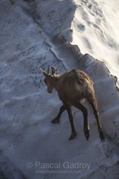 Chamois sur les dernières neiges... Chamois, Kangaroo, Moose Art, Animals, Snow, Baby Bjorn, Animaux, Animal, Animales