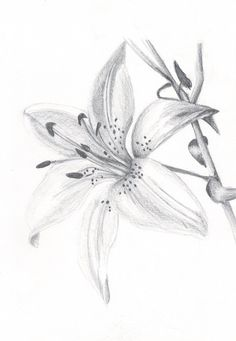 Go to Charcoal Drawing Course - Lilly Flower Drawing, Flower Sketch Pencil, Lilies Drawing, Pencil Drawings Of Flowers, Flower Sketches, Pencil Art Drawings, Flower Art, Drawing Flowers, Sketchbook Drawings